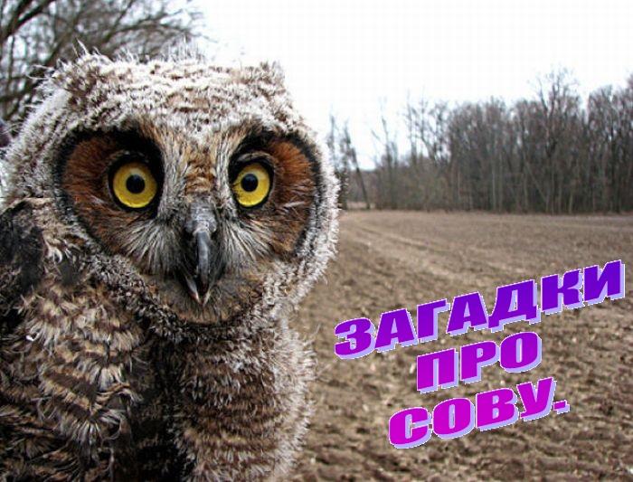 Загадки про сову
