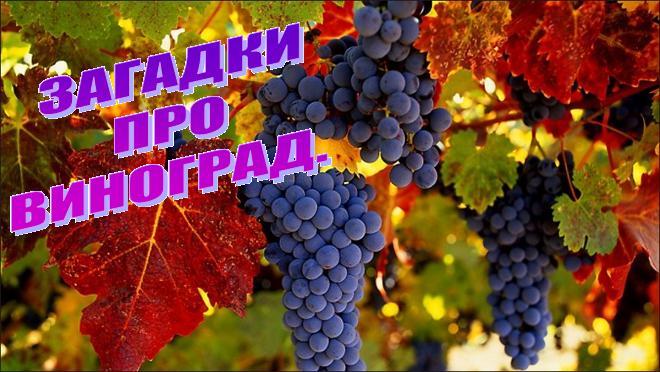 Загадки про виноград