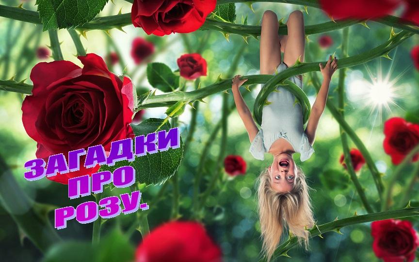 Загадки про розу