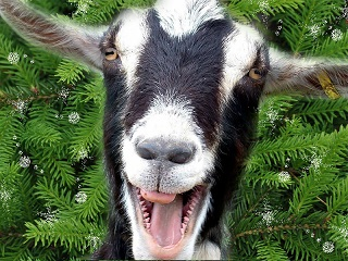 Загадки про козу