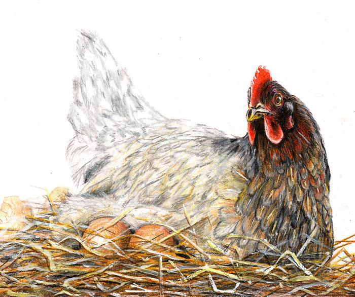 Наседка и цыплята